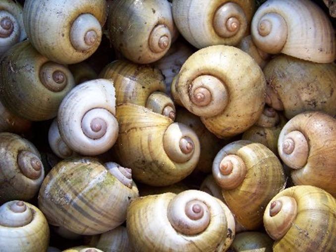 淡水の巻貝