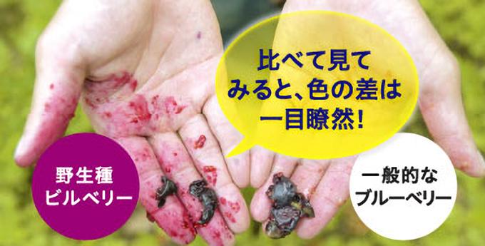 野生種のビルベリーの身を指で潰してみたときの一般的なブルーベリーとの違い